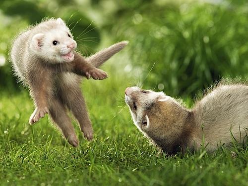Playful_Ferrets.jpg