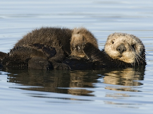 Sea_Otter_Mother_and_Pup_Monterey_Bay_California.jpg
