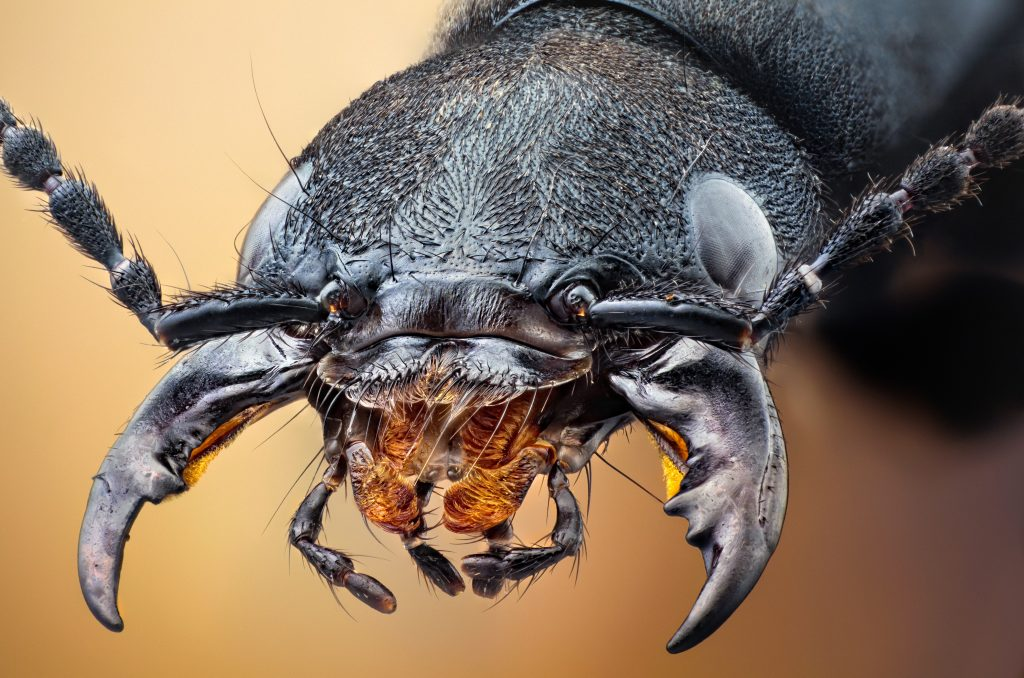 devil039s-coach-horse-beetle-wallpaper-1